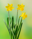 Yellow narcissus flower, close up, green degradee background. Know as daffodil, daffadowndilly, narcissus, and jonquil Royalty Free Stock Photo