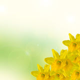 Yellow narcissus flower, close up, green to yellow degradee background. Know as daffodil, daffadowndilly, narcissus, and jonquil.  stock images
