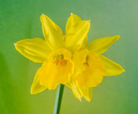 Yellow narcissus flower, close up, green to yellow degradee background. Know as daffodil, daffadowndilly, narcissus, and jonquil Stock Photo