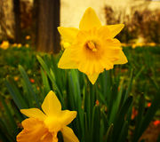 Yellow narcissus flower Royalty Free Stock Photography