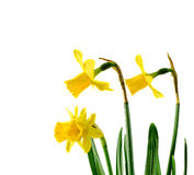 Yellow narcissus flower, close up, white background. Know as daffodil, daffadowndilly, narcissus, and jonquil Stock Photos