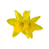 Yellow narcissus flower, close up, white background. Know as daffodil, daffadowndilly, narcissus, and jonquil Royalty Free Stock Images