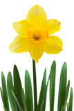 Yellow narcissus Stock Images