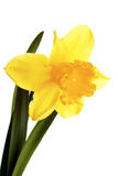 Yellow narcissus. Royalty Free Stock Image