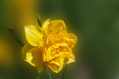 Yellow Narcissus Flower Stock Photography