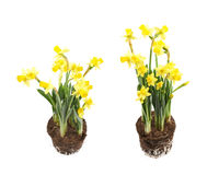 Yellow narcissus flower isolated Stock Image