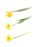 Yellow narcissus flower isolated Royalty Free Stock Photography