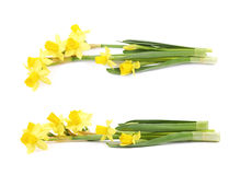 Yellow narcissus flower isolated Royalty Free Stock Images