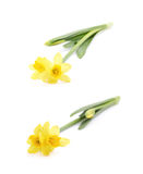 Yellow narcissus flower isolated Stock Photo