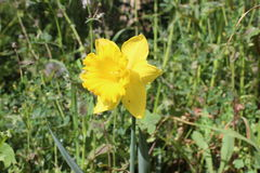Yellow Narcissus Flower. Plant in nature Royalty Free Stock Photo