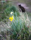 Yellow narcissus. Flowers royalty free stock photo