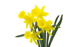 Yellow narcissus flowers Royalty Free Stock Photos