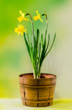 Yellow narcissus flowers in a brown rustic (vintage) pot, close up. Stock Images