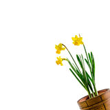Yellow narcissus flowers in a brown rustic (vintage) pot, close up. Stock Image