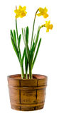 Yellow narcissus flowers in a brown rustic (vintage) pot, close up,white background Royalty Free Stock Photography