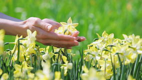 Yellow narcissus flowers caressed by woman hand Royalty Free Stock Images