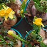 Yellow narcissus flowers and a closed hyacinth in gardening pots Stock Photo