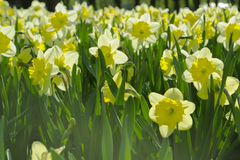 Yellow narcissus flowers in a field Royalty Free Stock Photo