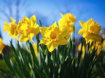Yellow narcissus flowers Royalty Free Stock Photography