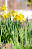 A yellow narcissus flowers in the garden Royalty Free Stock Images