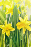 Yellow narcissus flowers and green leaves Stock Photo
