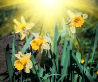 Yellow narcissus flowers Royalty Free Stock Image