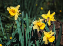 Yellow narcissus flowers Stock Image