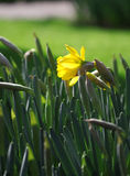 Yellow narcissus flowers growing under spring sunshine Royalty Free Stock Images