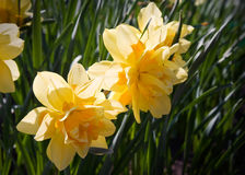 Yellow narcissus flowers macro Royalty Free Stock Images