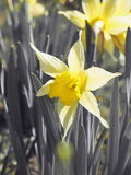 Yellow narcissus flowers. Spring daffodils. Nature background, selective focus on the flower heads. Royalty Free Stock Images
