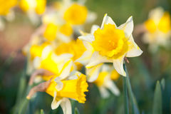 Yellow narcissus flowers in spring season Stock Image