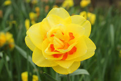 Yellow narcissus in the garden. A yellow narcissus in the garden Royalty Free Stock Images