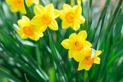 Yellow narcissus in the garden. Beautiful spring landscape Royalty Free Stock Photos