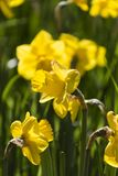 Daffodil in the garden Stock Photos