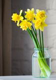 Yellow narcissus in glass jar. Yellow daffodil in glass vase brick wall background Stock Photography