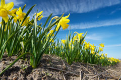 Yellow narcissus growing on a field, Netherlands Stock Photo