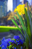 Yellow Narcissus and heartsease flowers in Bryant Park. In Midtown Manhattan, New York, USA. Skyscrapers blurred on the background. Selective focus Stock Image