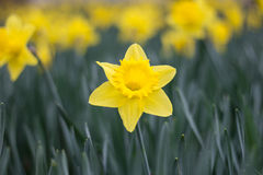 Yellow narcissus, jonquil flower standing out of daffodil flower. Blooming yellow narcissus, jonquil flower standing out of daffodil flowerbed royalty free stock photo