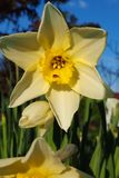 Yellow narcissus with a little bug stock image