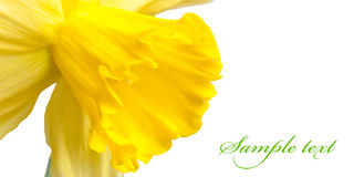 Yellow narcissus. Macro Royalty Free Stock Photos