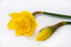 Yellow narcissus over white background Stock Photo
