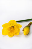 Yellow narcissus over white background Stock Images