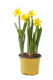 Yellow narcissus in the pot Royalty Free Stock Photography
