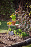 Yellow narcissus in pot, osier wicker fence and tools in early spring garden Royalty Free Stock Photos