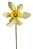 Yellow narcissus pseudonarcissus daffodil against white backgrou. Yellow narcissus pseudonarcissus daffodil against gray background Stock Images