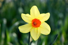 Yellow Narcissus pseudonarcissus flower close-up. Narcissus is a genus of predominantly spring perennial plants of the amaryllis family. Various common names stock photos