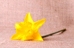 Yellow narcissus on sackcloth background Royalty Free Stock Photography