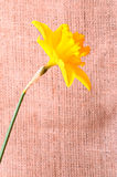 Yellow narcissus on sackcloth background Stock Image