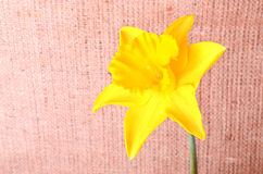 Yellow narcissus on sackcloth background Royalty Free Stock Images