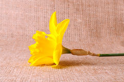 Yellow narcissus on sackcloth background Stock Photography